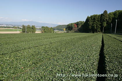 12月のお茶畑